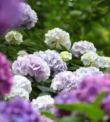 Purple, Blue, and White Hydrangeas