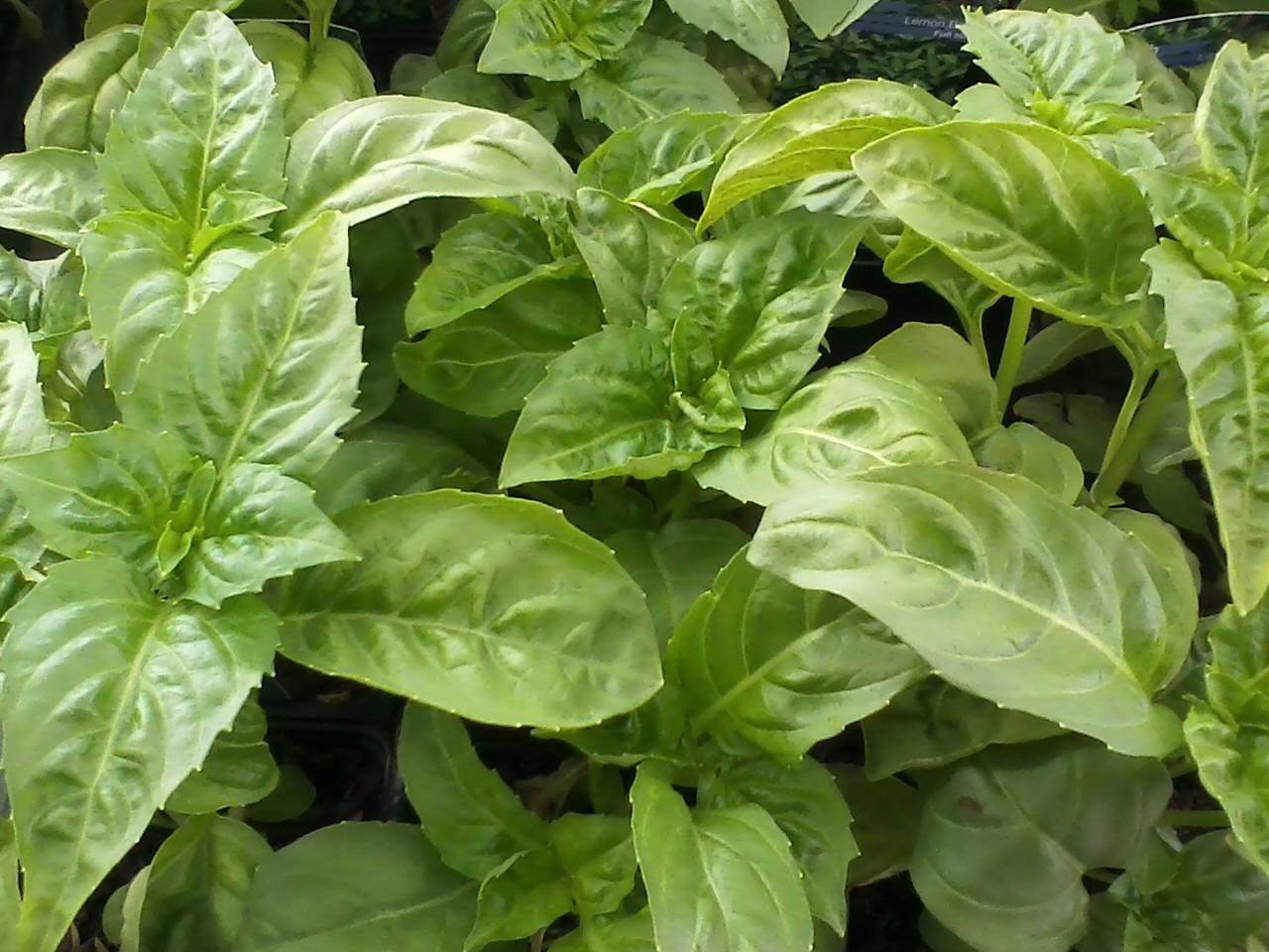 Herbs - Canton Road Garden Center - Akron, Ohio