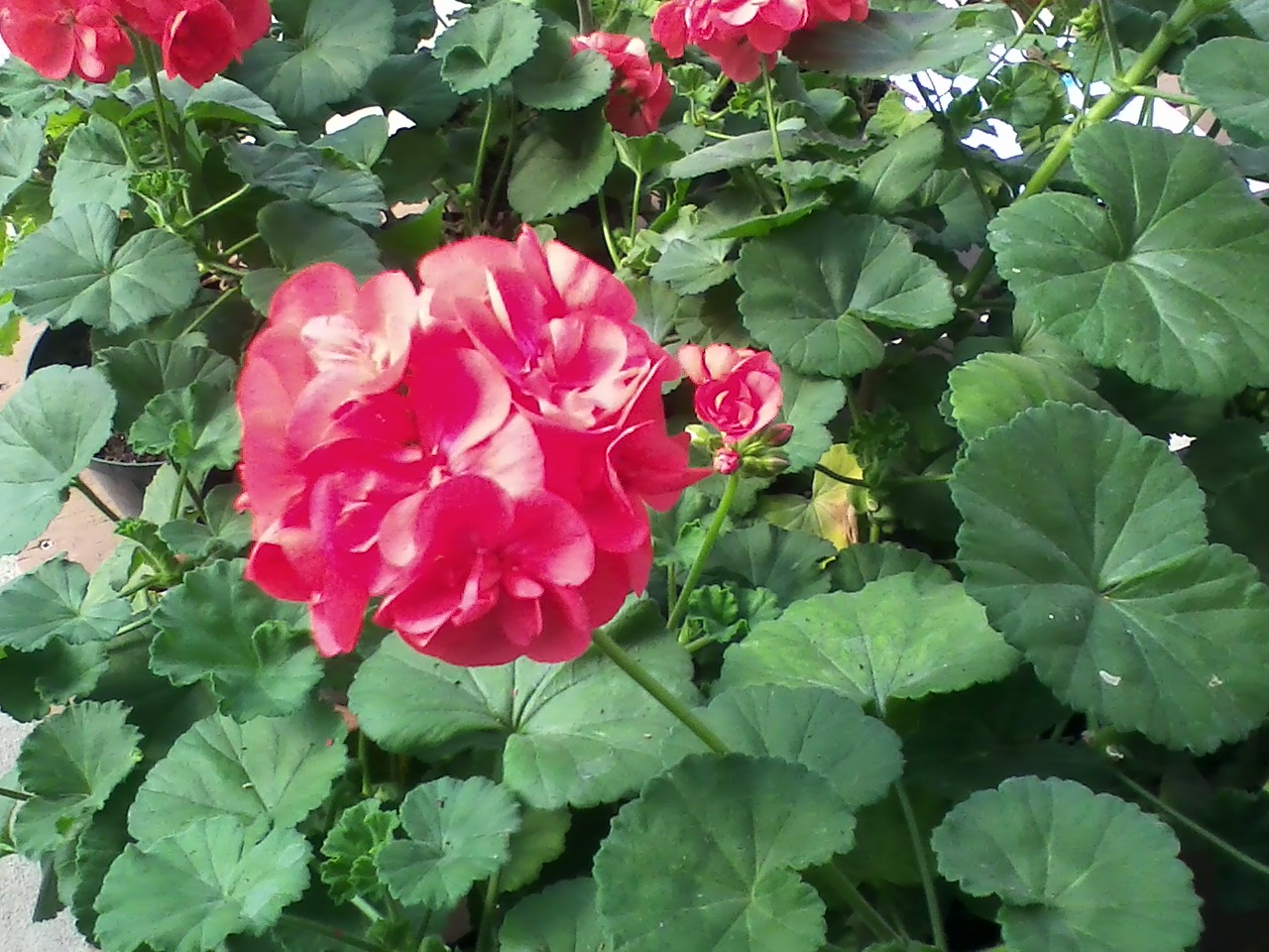 Annuals canton road garden center akron ohio izmirmasajfo