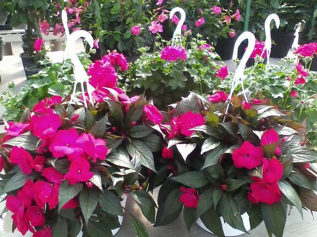 Hanging Baskets with Pink Flowers