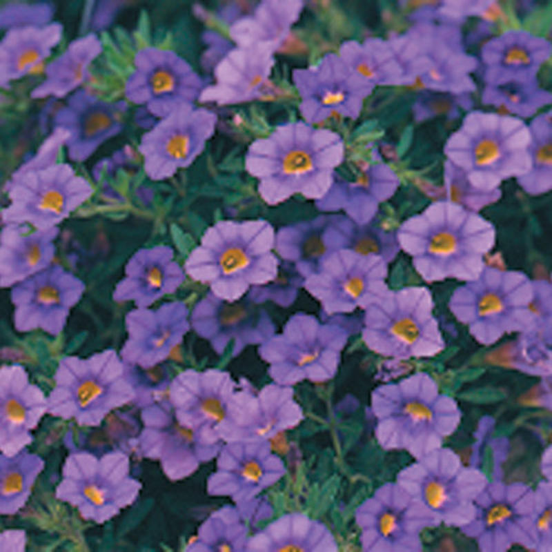 Proven Winner With Purple Flowers