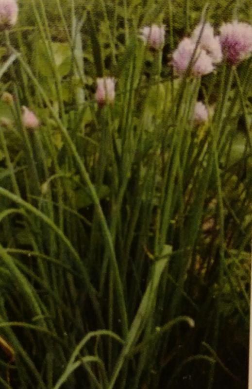 Chives (Perennial)