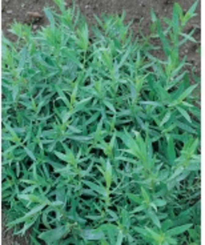 French Tarragon (Perennial)