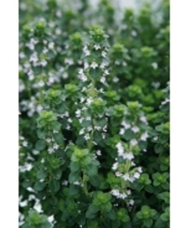 Thyme, English (Perennial)