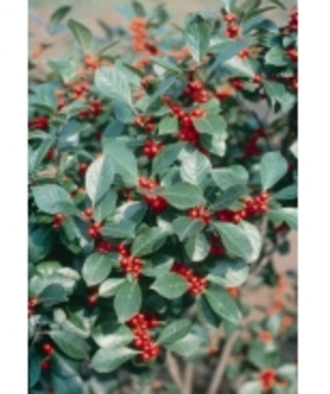 Gaultheria Procumbens (Winterberry)