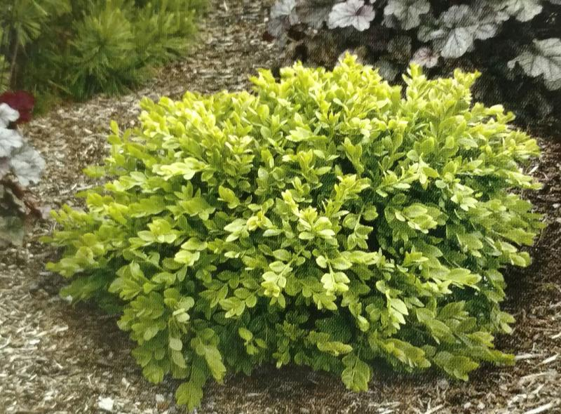 Wintergem Boxwood