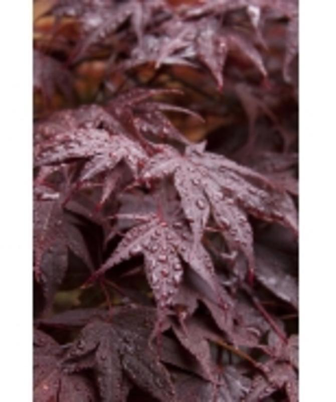 Bloodgood Japanese Maple